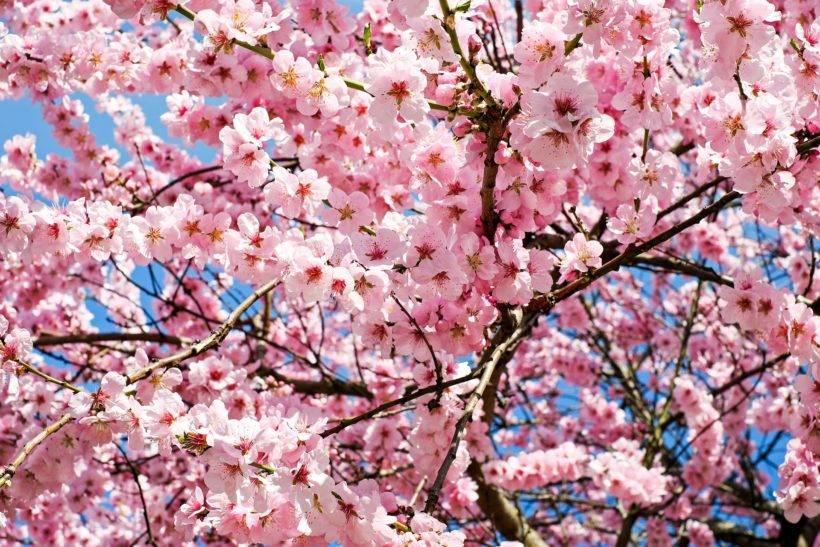 festa-das-cerejeiras-41-edicao